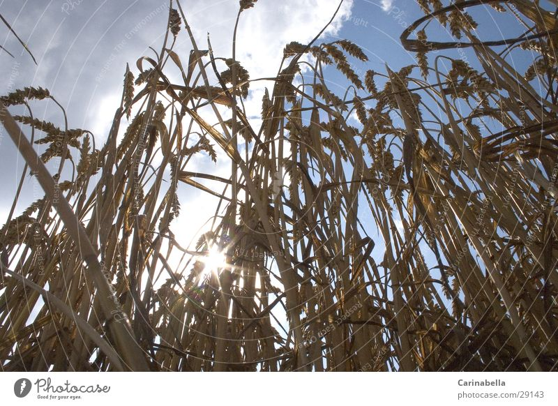 Weizen Natur Himmel Sonne Wolken Getreide Korn Ähren