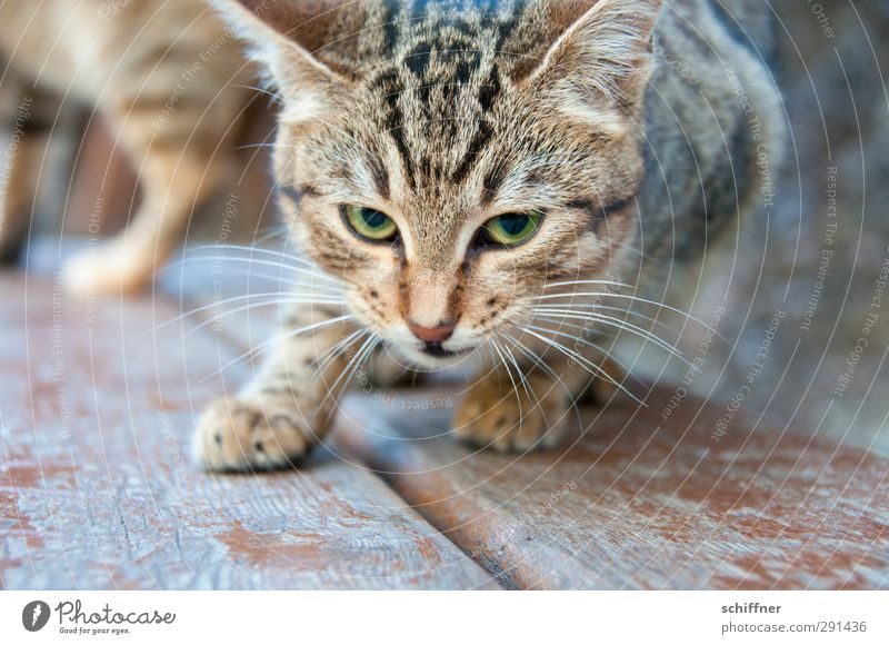 Störfaktor | MEIN Futter Tier Haustier Wildtier Katze Tiergesicht Fell Pfote 2 Tierpaar Tierjunges Blick fixieren Futterneid Schnurrhaar Auge Katzenauge