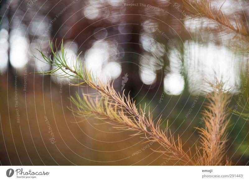Tanne Natur Pflanze Baum Wald Umwelt braun natürlich Sträucher Grünpflanze