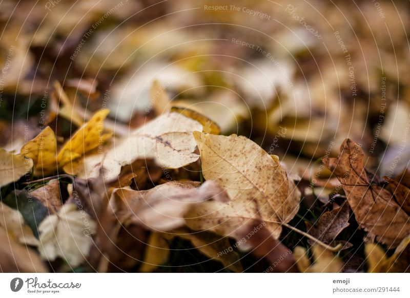 Makrokosmos Umwelt Natur Herbst Blatt Laubwald Wald natürlich braun Verfall trocken Farbfoto Gedeckte Farben Außenaufnahme Nahaufnahme Detailaufnahme