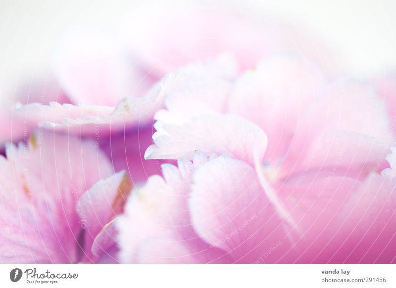 Blümerant schön Wellness harmonisch Wohlgefühl Zufriedenheit Erholung Duft Umwelt Natur Pflanze Blume Hortensie rosa Farbe Makroaufnahme Hintergrundbild