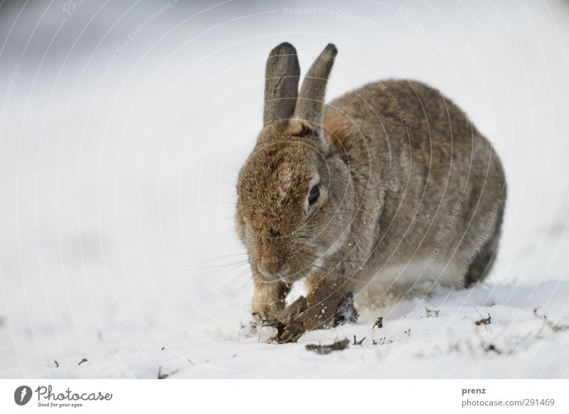 wild rabbit Umwelt Natur Tier Winter Wildtier 1 braun grau weiß Hase & Kaninchen Säugetier Schnee Schneelandschaft Farbfoto Außenaufnahme Menschenleer