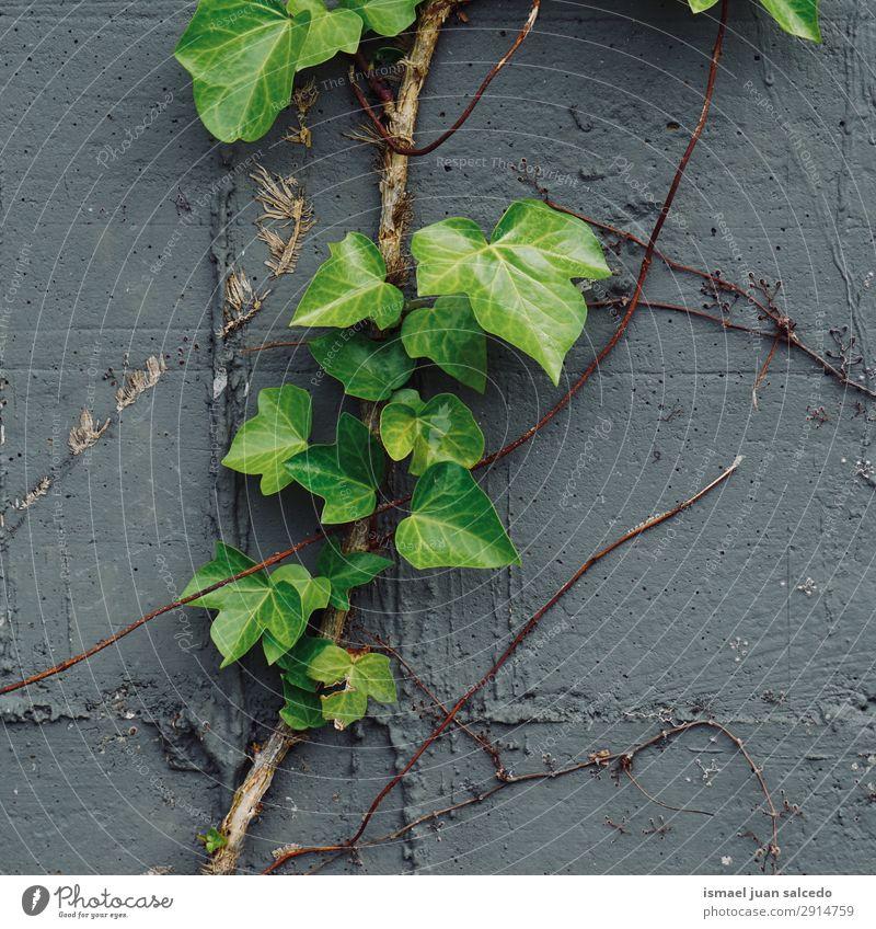 grüne Pflanzenblätter an der Wand Blatt Garten geblümt Natur Dekoration & Verzierung abstrakt Konsistenz frisch Außenaufnahme Hintergrund neutral