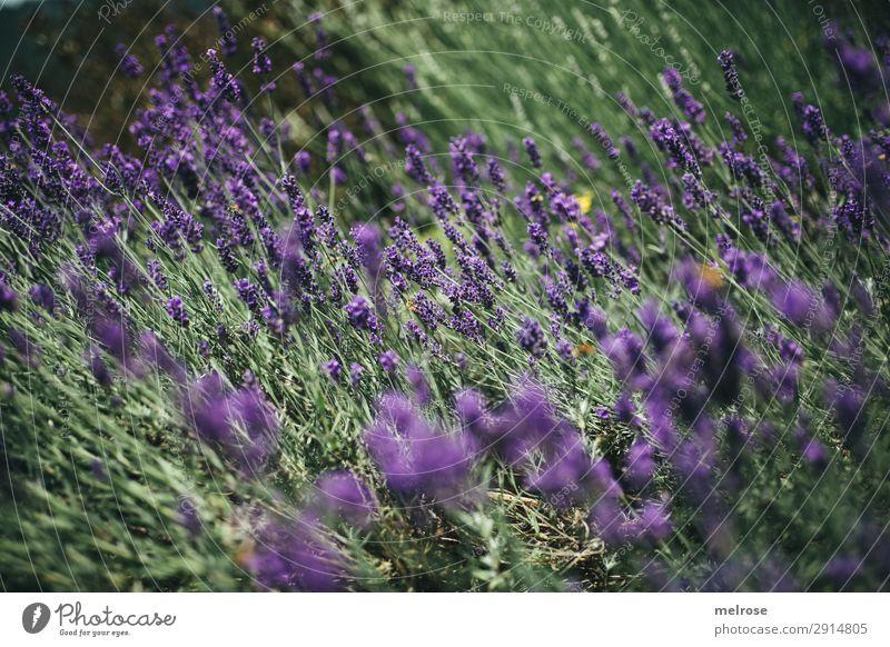 L A V E N D E L Blüten Kräuter & Gewürze Lavendel Lifestyle elegant Stil Natur Sonnenlicht Sommer Schönes Wetter Pflanze Blume Sträucher Lavendelfeld Park Duft