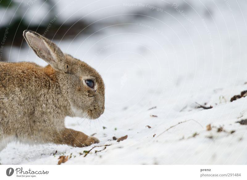 rabbit Umwelt Natur Tier Winter Wildtier 1 braun grau weiß Hase & Kaninchen Schnee Farbfoto Außenaufnahme Menschenleer Textfreiraum rechts Tag