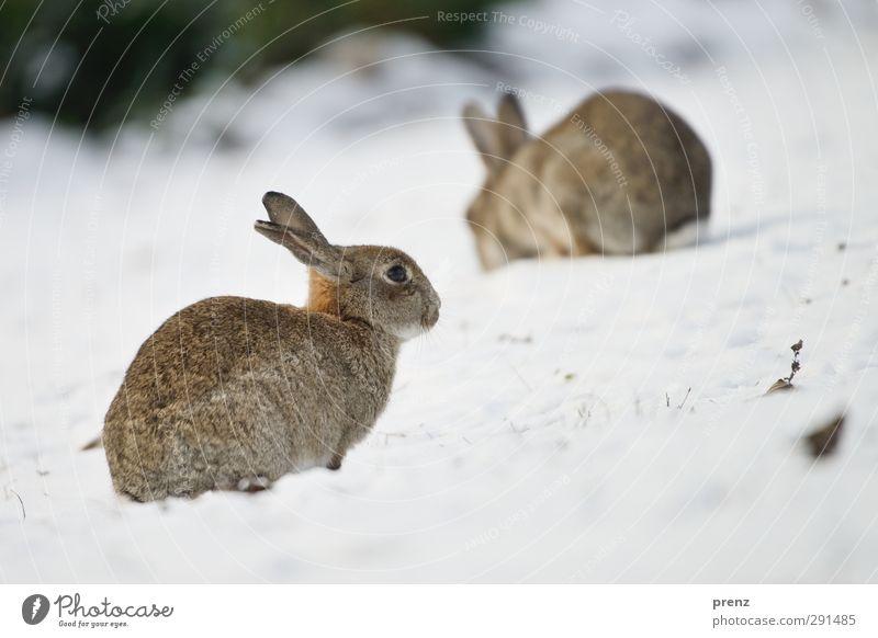 rabbits Umwelt Natur Tier Wildtier 2 braun grau Hase & Kaninchen Winter Farbfoto Außenaufnahme Menschenleer Textfreiraum rechts Textfreiraum unten Tag
