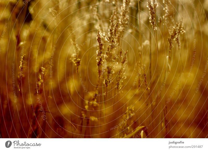 Gras Umwelt Natur Pflanze Schilfrohr Küste Seeufer leuchten Wachstum natürlich schön Wärme wild weich gold Stimmung Farbfoto Außenaufnahme Menschenleer Licht