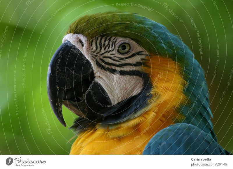 Mamagei Ara Papageienvogel Schnabel Vogel grün mehrfarbig Tier Venezuela Sträucher Wildnis