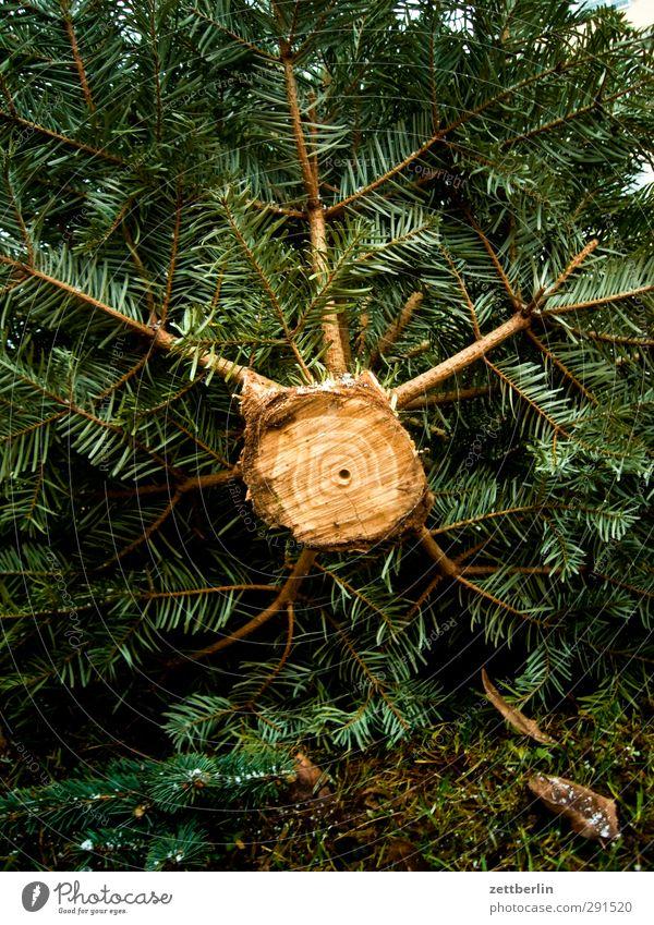 Weihnachtsbaum (von unten) abgesägt alt wegwerfen Baum Baumstamm Biomüll Froschperspektive liegen Müll Säge wallroth Zweig Holz Ast Tanne Fichte Kiefer