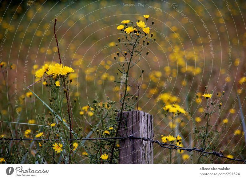 sonne bei wind am strand Natur grün Sommer Pflanze Sonne Meer Strand schwarz gelb Umwelt Wiese Bewegung grau Küste Blüte Wind