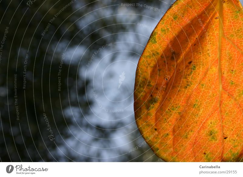 Blatt Pflanze Herbst orange
