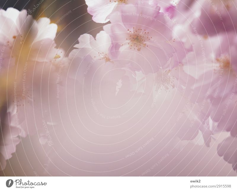 Frühlingsgeblüt Natur Pflanze schön Leben Umwelt Blüte rosa hell offen elegant Idylle Lebensfreude Schönes Wetter Zukunft Blühend