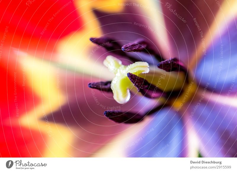 Tulpe Pflanze Frühling Sommer Schönes Wetter Blume Blüte Garten Park Wiese blau mehrfarbig gelb grün rot Querformat Stempel Nektar Blühend Farbfoto