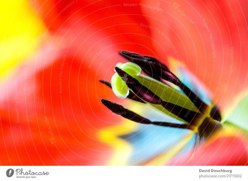 Tulpenstempel Natur Pflanze Frühling Sommer Schönes Wetter Blume Blüte Garten Park Wiese gelb grün rot schwarz Beginn Erholung Stempel Nektar Blühend Querformat