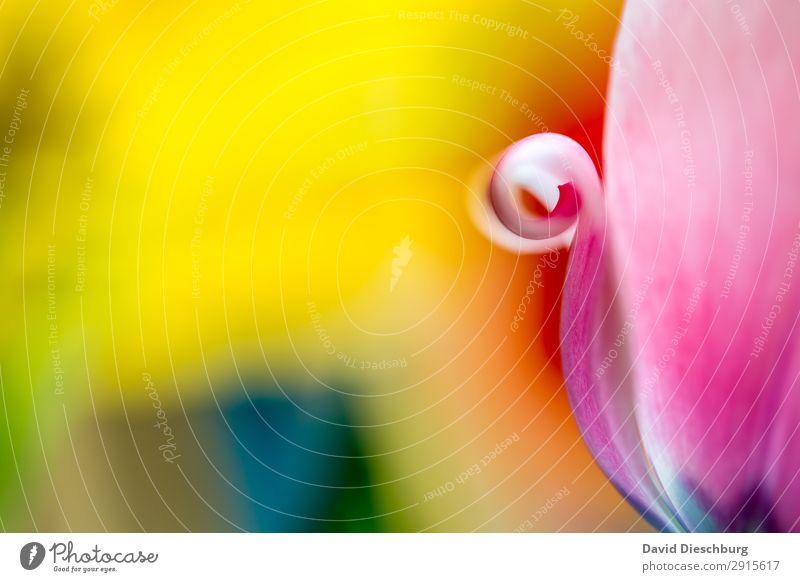 Eingerollt Natur Pflanze Frühling Sommer Schönes Wetter Blume Tulpe Blüte Garten Park Wiese blau mehrfarbig gelb orange rosa rot weiß Querformat Blütenblatt