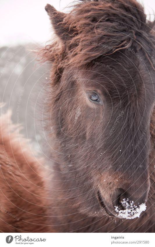 Isländische Eisnase Reiten Natur Tier Himmel Frost Schnee Nutztier Pferd Tiergesicht Fell Isländer Island Ponys Fohlen 1 beobachten Blick Freundlichkeit