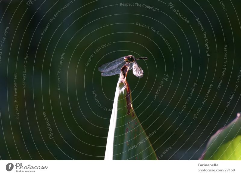 Blattspitze Pflanze Tier Verkehr Flügel Insekt Libelle