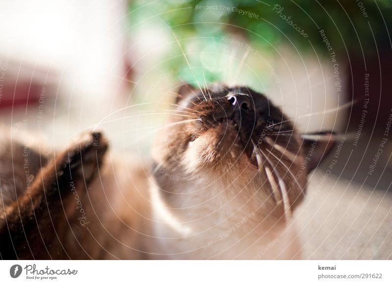 Der Sonne entgegen Tier Haustier Katze Tiergesicht Fell Nase Schnurrhaar Nasenlöcher Karthäuser 1 genießen liegen braun Zufriedenheit Lebensfreude