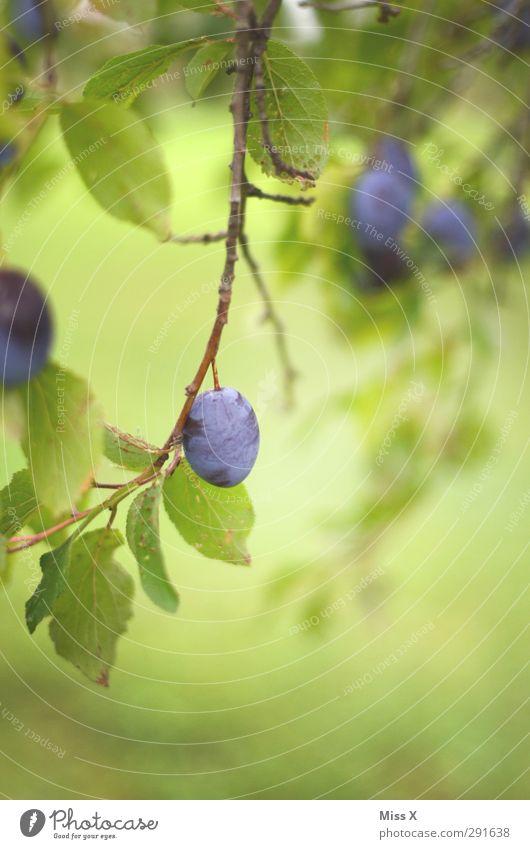 Sommer Baum Herbst Frucht Lebensmittel Ernährung süß lecker Bioprodukte Pflaume Pflaumenbaum