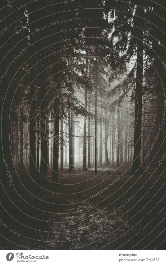 Monokultur im Nebel Baum Wald Umwelt dunkel Nebel Forstwirtschaft