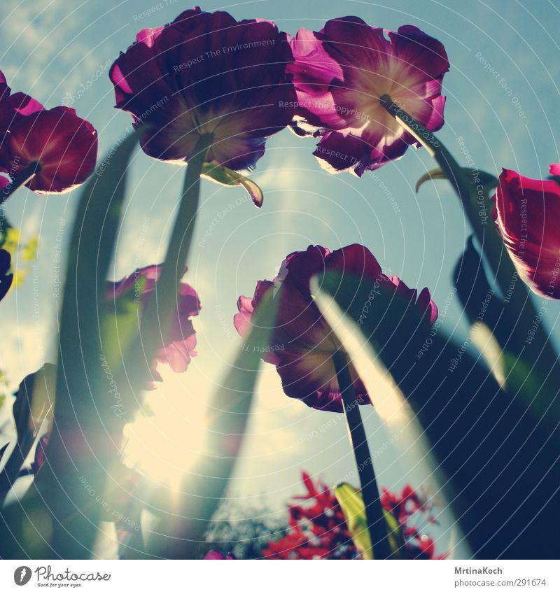 CMYK. Umwelt Natur Pflanze Erde Himmel Wolken Schönes Wetter Blume Tulpe Blatt Blüte Blütenknospen Tulpenfeld Tulpenknospe Frühling sommerlich frisch violett