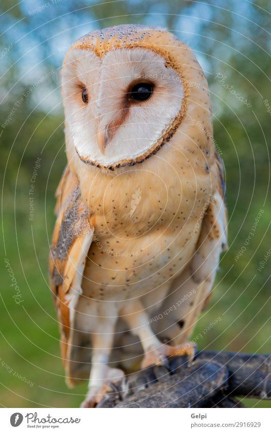 Porträt der weißen Eule schön Gesicht Natur Tier Wildtier Vogel Herz beobachten natürlich wild Waldohreule Tierwelt Raubtier Raptor alba Scheune gehockt Tyto