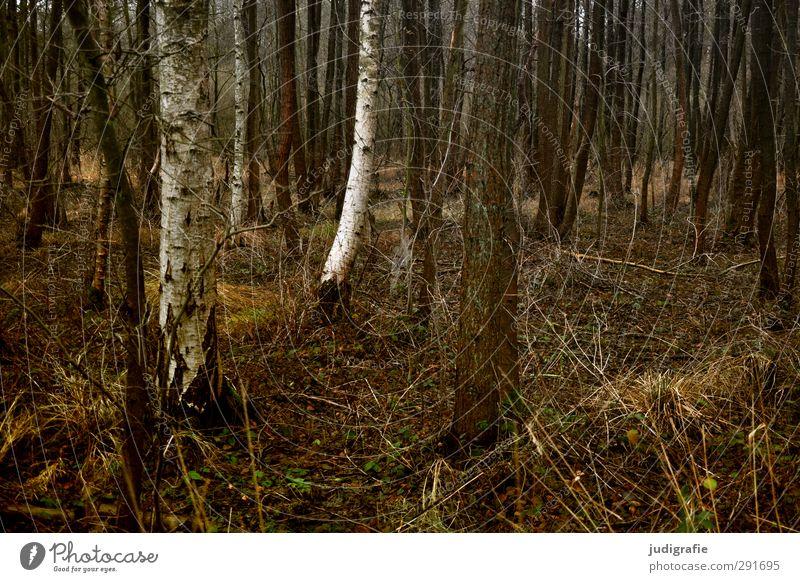 Wald Umwelt Natur Landschaft Pflanze Baum Gras Birke dunkel natürlich trist braun Farbfoto Gedeckte Farben Außenaufnahme Menschenleer