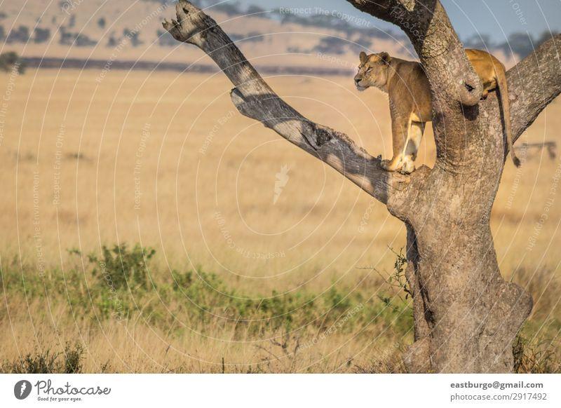 Eine Löwin steht Wache in einem Baum. Tourismus Safari Erwachsene Natur Landschaft Tier Gras Park Katze wild gelb gold gefährlich Stolz Afrika Afrikanisch groß