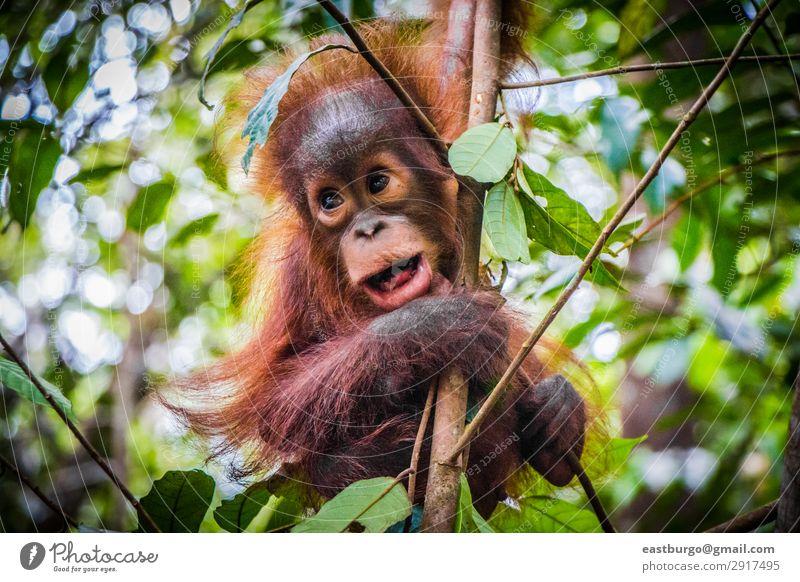 Der süßeste Baby-Orang-Utan der Welt hängt mit offenem Mund. Ferien & Urlaub & Reisen Kind Kindheit Natur Tier Baum Park Wald Urwald Pelzmantel Tierjunges