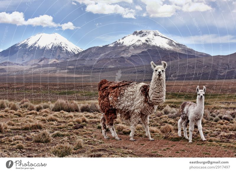 Ein babel Lama und eine Mutter auf dem bolivianischen Altiplano. Ferien & Urlaub & Reisen Tourismus Schnee Berge u. Gebirge Baby Erwachsene