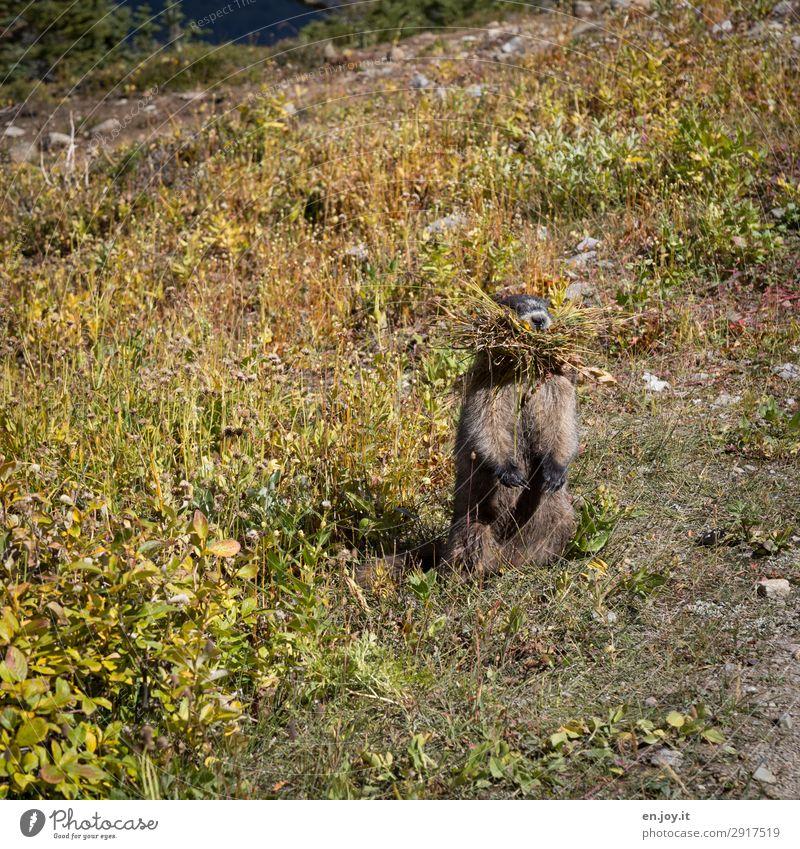 guckst du Umwelt Natur Sommer Klima Klimawandel Wiese Tier Wildtier Murmeltier Nagetiere 1 Tierliebe fleißig ansammeln Futter Fressen stehen vertikal Vorrat
