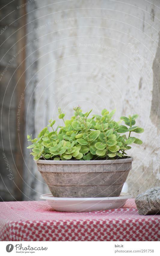 mal was Grünes auf den Tisch... alt grün Pflanze Blatt Haus Wand Mauer grau Fassade Zufriedenheit Wachstum stehen Tisch Italien Lebensfreude Dorf