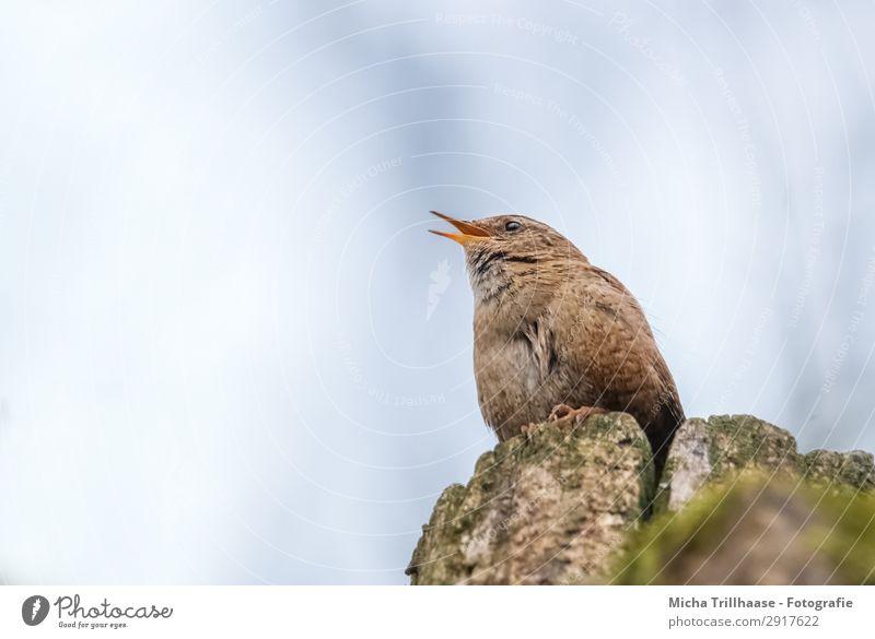 Singender Zaunkönig Sänger Natur Tier Himmel Sonnenlicht Schönes Wetter Baumstumpf Wildtier Vogel Tiergesicht Flügel Krallen Schnabel Feder gefiedert Auge 1