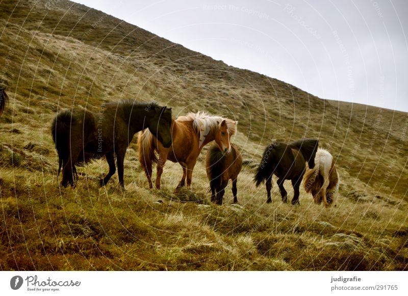 Island Umwelt Natur Landschaft Tier Gras Hügel Berge u. Gebirge Wildtier Pferd Island Ponys Tiergruppe Herde Fressen laufen natürlich schön wild braun Farbfoto