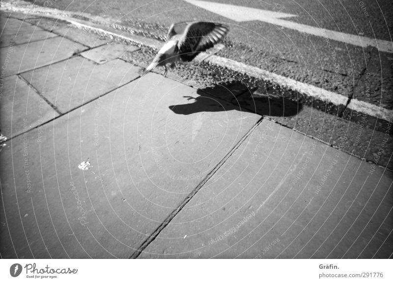 She is like a homing pigeon Straße Wildtier Vogel Taube 1 Tier entdecken fliegen Stadt grau schwarz weiß Umwelt Wege & Pfade Ziel Schwarzweißfoto Außenaufnahme