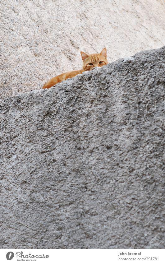 Schiefe Katze Tier Erholung Wand Mauer liegen orange Angst Zufriedenheit schlafen Sicherheit Freundlichkeit Schutz Höhenangst Haustier kuschlig