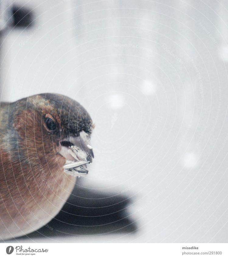 frozen bird Sonnenblumenkern Natur Winter Klima Eis Frost Schnee Tier Wildtier Vogel Feder Futterhäuschen 1 beobachten Fressen frieren füttern dunkel kalt braun