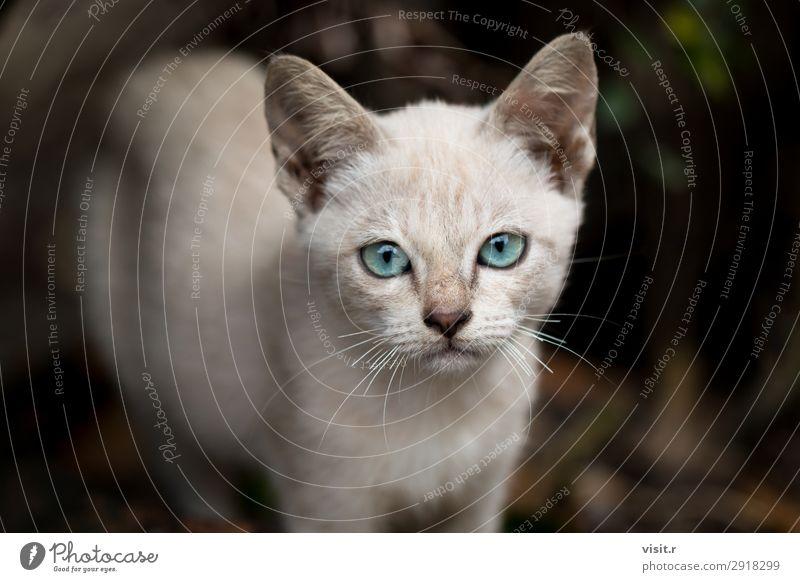 Grau braun streunendes Kätzchen Traurigkeit mit blauen Augen Tier Haustier Katze 1 Liebe sitzen dünn klein niedlich trist wild grau grün schwarz weiß