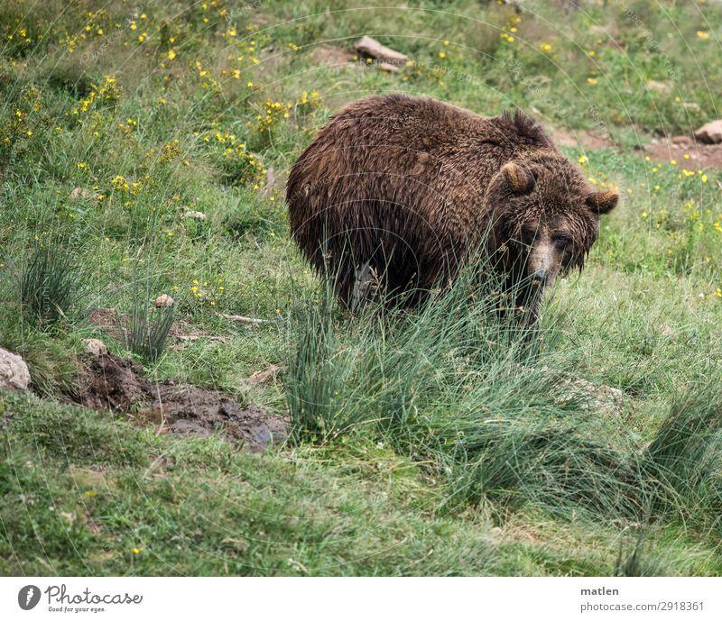 Bärchen Pflanze grün Tier Wiese Gras braun beobachten Tiergesicht