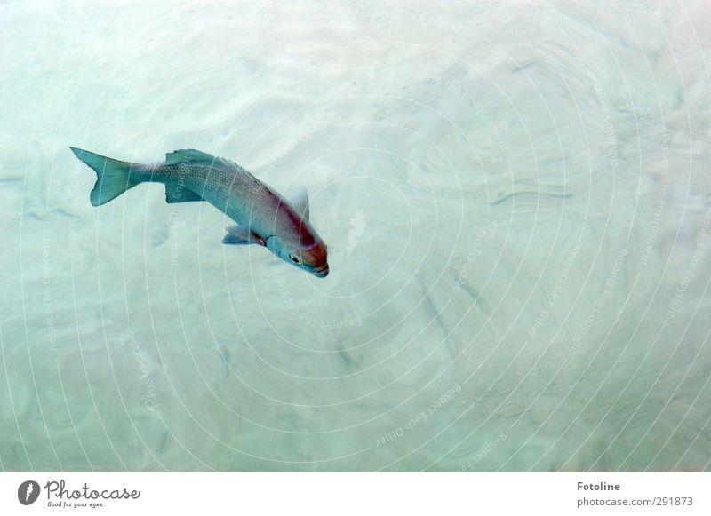 Schwimmen, schwimmen, schwimmen... Umwelt Natur Tier Urelemente Wasser Sommer Küste Meer Wildtier Fisch Schuppen hell nah nass natürlich Im Wasser treiben