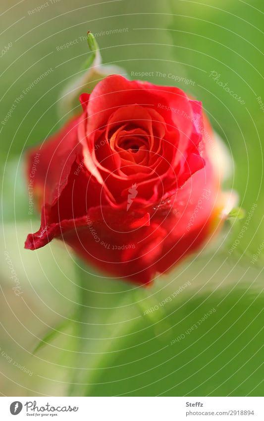 Eine Rose will blühen Natur Sommer Pflanze schön grün rot Blume Umwelt Liebe Blüte natürlich Garten Geburtstag Romantik Blühend einzigartig