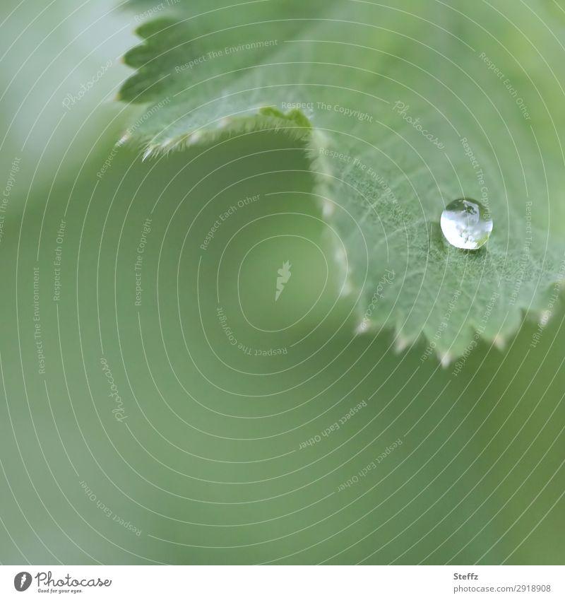Der letzte Tropfen... Umwelt Natur Pflanze Wassertropfen Frühling Sommer Blatt Grünpflanze Nutzpflanze Frauenmantelblatt Heilpflanzen Gartenpflanzen Blattadern