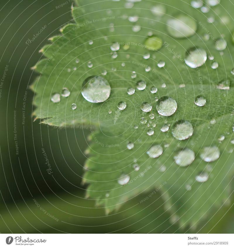 Frauenmantel mit Perlen Umwelt Natur Pflanze Wassertropfen Frühling Sommer Wetter Regen Blatt Grünpflanze Nutzpflanze Frauenmantelblatt Heilpflanzen