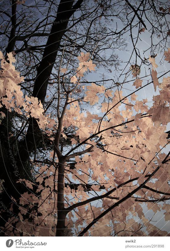 Spätherbst Umwelt Natur Pflanze Wolkenloser Himmel Herbst Klima Wetter Baum Blatt Wildpflanze Ahorn Zweige u. Äste Holz Laubbaum dehydrieren warten werfen