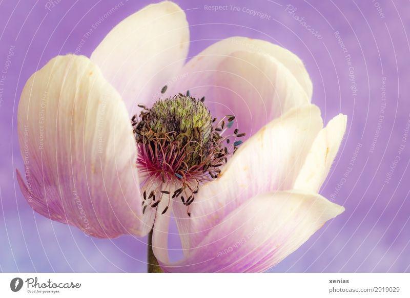Anemonenblüte, weiss, violett, bald verwelkt Frühling Sommer Blume Blüte Blühend alt weiß zart Farbfoto Studioaufnahme Nahaufnahme Detailaufnahme Menschenleer
