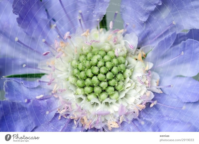 Scabiosa in violett Sommer Pflanze grün weiß Blüte Frühling Garten rosa Park Blühend weich Stauden Holunderbusch
