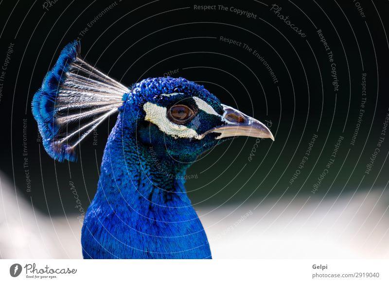 Erstaunliches Porträt eines blauen Pfaus mit einer schönen Farbe. elegant Mann Erwachsene Ausstellung Zoo Natur Tier Park Vogel hell natürlich grün türkis