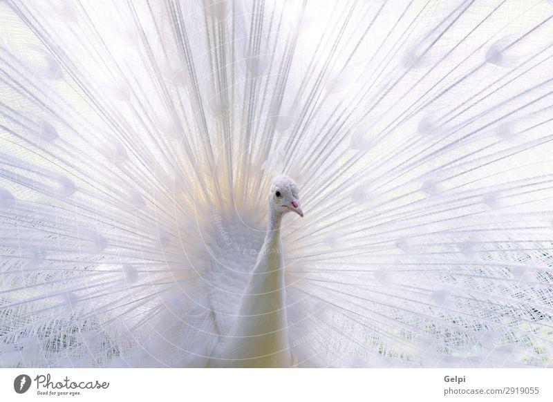 Erstaunlicher weißer Pfau, der seinen Schwanz öffnet. elegant exotisch schön Mann Erwachsene Zoo Natur Tier Vogel Flügel hell natürlich wild Romantik Stolz