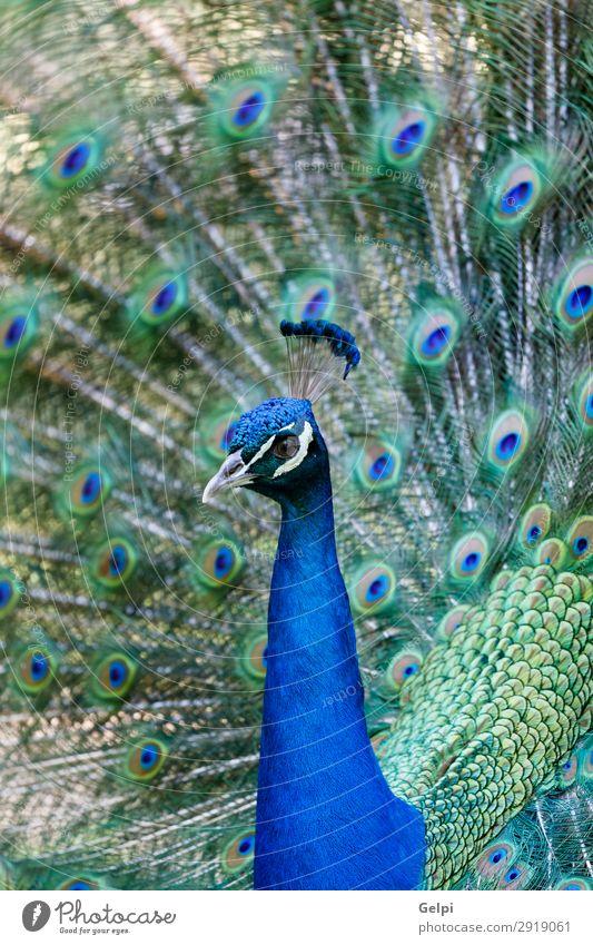 Erstaunlicher Pfau während seiner Ausstellung elegant schön Mann Erwachsene Zoo Natur Tier Park Vogel hell natürlich blau grün türkis Farbe farbenfroh Tierwelt