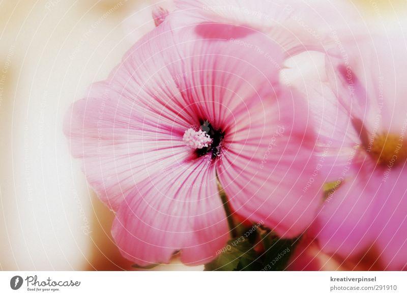 Rosali grün Pflanze Sommer Blume gelb Blüte rosa Blühend violett
